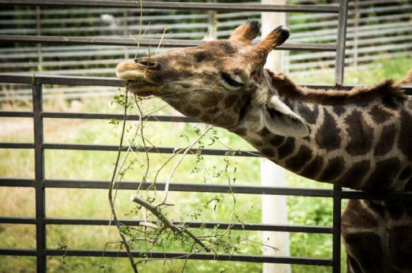 В зоопарке Красноярска от болевого шока умер жираф