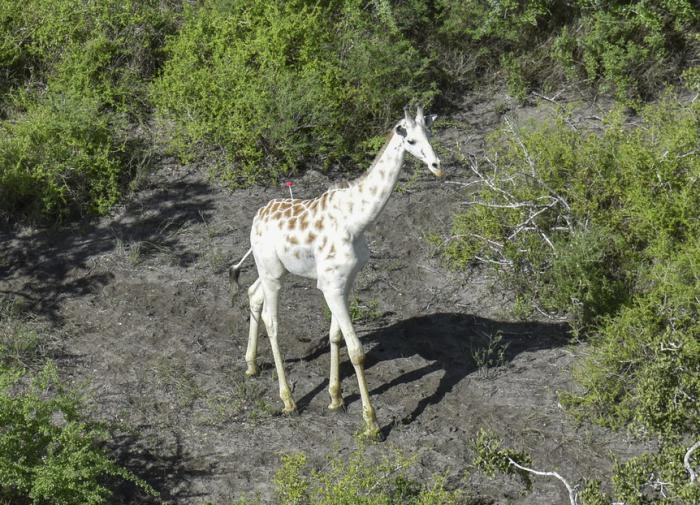 Стараниями браконьеров на планете остался единственный белый жираф