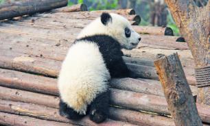 Биологи выяснили, почему у панды такие маленькие детеныши