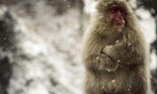 Древняя горилла уточнила происхождение человека