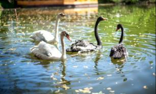 Лебедей из пруда в Химках отправили на зимовку