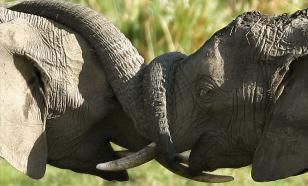 Почему слон напал на рабочего в цирке, объяснили эксперты-зоологи