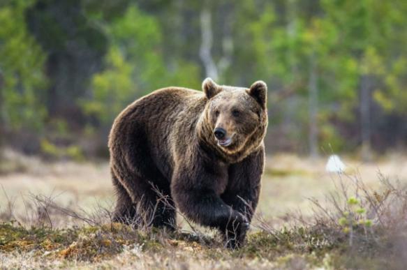 Российские эксперты дали советы, как избежать нападения медведей