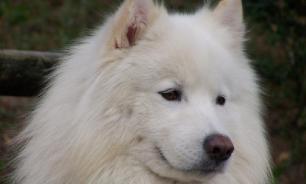 В Якутии клонированная лайка родила семь щенков