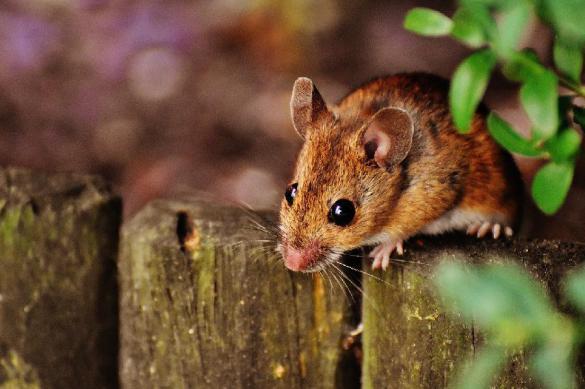 Нейробиологи смогли описать эмоции на мордах мышей