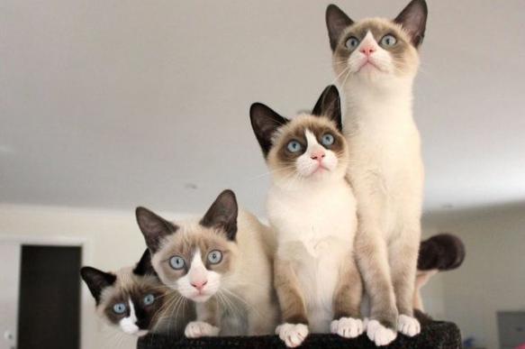 Сноу-шу: кошачья аристократия в ореховых тонах