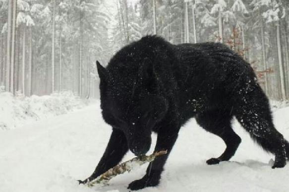 На Ямале собрались отстреливать волкособак