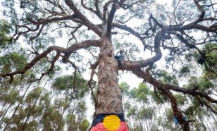 В Австралии аборигены протестуют против уничтожения священных деревьев