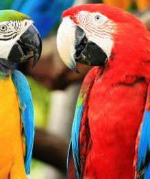 Попугай ара: особенности содержания