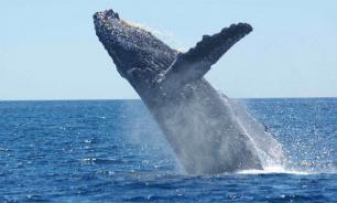 Биологи выяснили, как горбатый кит подкрадывается к кильке