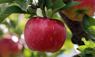 Яблочная кожура защитит от рассеянного склероза