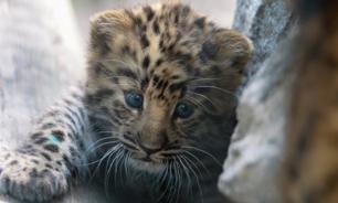 Возросла численность дальневосточных леопардов