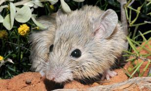 Найден генетический брат вымершей 160 лет назад мыши