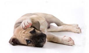 Как определить, что у собаки что-то болит