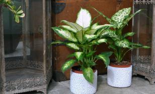 Список ядовитых комнатных растений