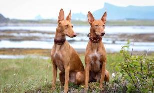 Фараонова собака: история породы, характер и уход