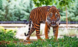 В зоопарке Дублина тигр пытался напасть на мальчика