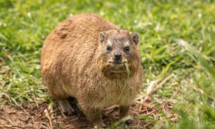 В Африке обнаружили новый вид поющих млекопитающих