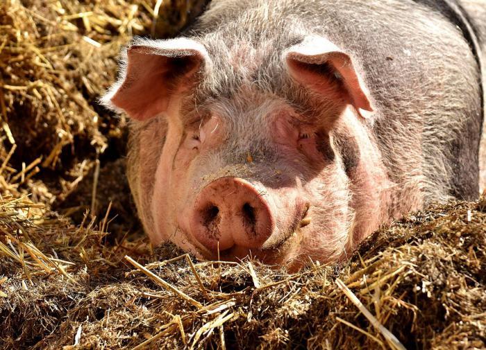 Свиной коронавирус может быть опасен и для человека