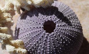 Морские ежи помогли биологам раскрыть тайну эволюции мозга