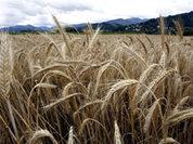 Хлеб дорожает, потому что зерно уплывает?