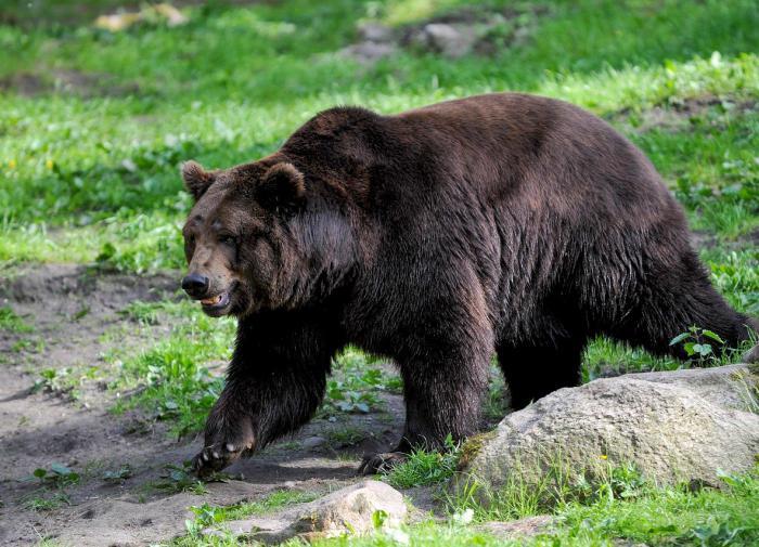 Медведя, испугавшего жителей Нижневартовска, поймали