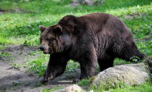 Медведицу, испугавшую жителей Нижневартовска, поймали