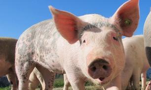 В 8 регионах выявили африканскую чуму свиней