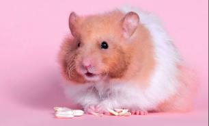 Факты о хомяках: диета, привычки и типы хомячков. Часть 1