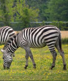 Исследователи выяснили, какую роль играют полоски у зебры