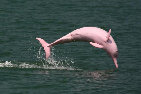 В Таиланде рыбаки сняли на видео редких розовых дельфинов