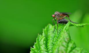 Генетики научились превращать самок комаров в некусающих самцов