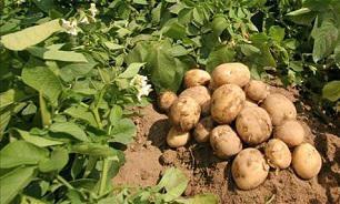 В России выросло производство картофеля