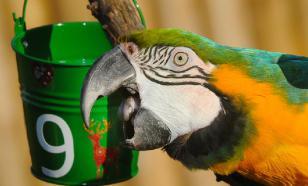 А поговорить: как сделать собеседника из волнистого попугайчика