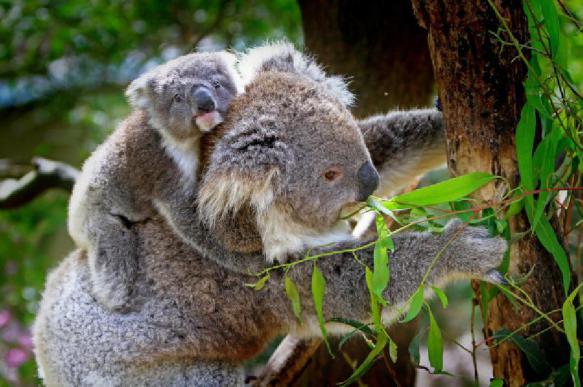 Тысячи коал, вероятно, погибли в австралийских пожарах