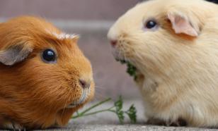 Уход и содержание морских свинок