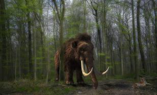 На Ямале обнаружили останки мамонта: кость черепа и бивень