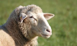 Дикие овцы помогли раскрыть тайну долголетия