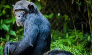 Шотландские биологи расшифровали язык жестов шимпанзе