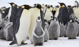 Экологи заявили об исчезновении крупнейшей колонии пингвинов в мире