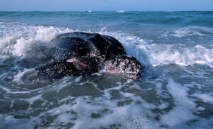 Кожистым черепахам пошли на пользу коронавирусные ограничения у людей