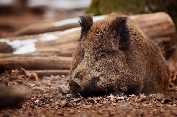 Американская база в Польше под угрозой: в лесу вокруг много зверей