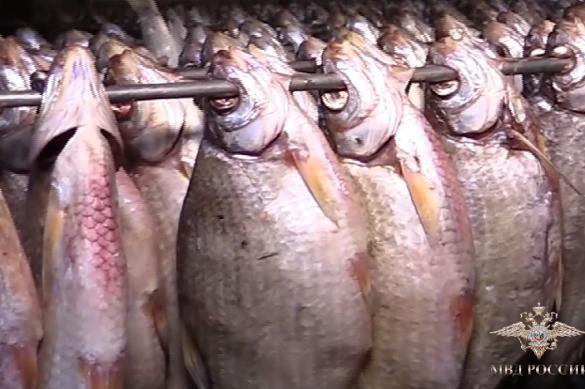 В Волгограде закрыли цех, где тоннами перерабатывали браконьерскую рыбу