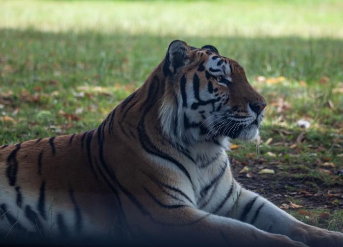 Обезглавленный амурский тигр найден под Хабаровском