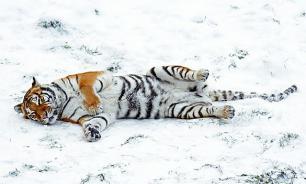 Козел Тимур выгнал тигра Амура под снегопад