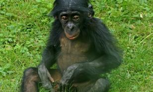 Обезьяны бонобо возвращаются к прерванному разговору