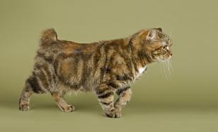 Породы кошек, у которых нет хвоста