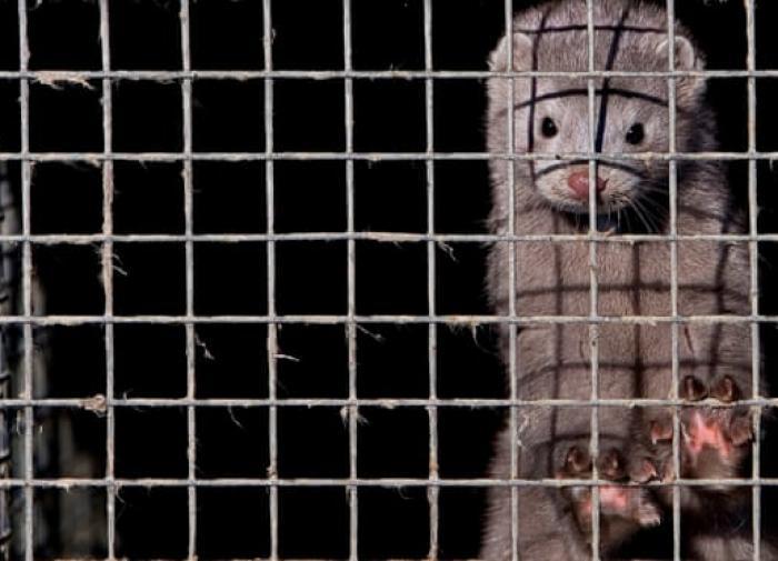 """""""Страна идиотов"""": зоолог прокомментировала истребление норок в Дании"""