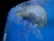 В Маниле нашли огромную медузу