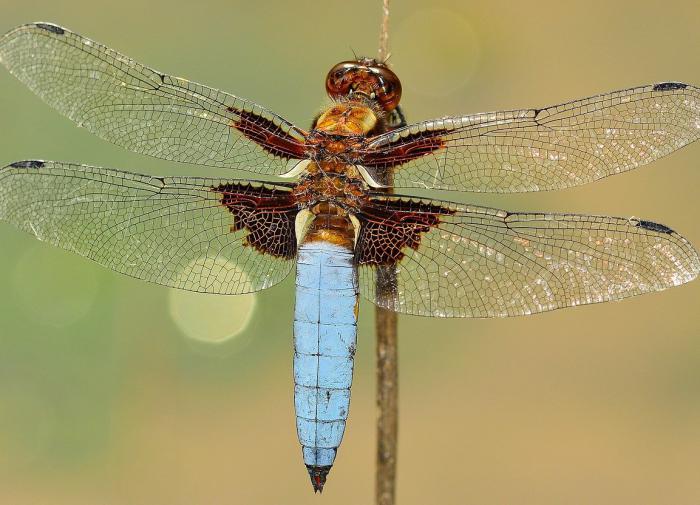Открыт новый вид вымерших стрекоз со странной формой головы